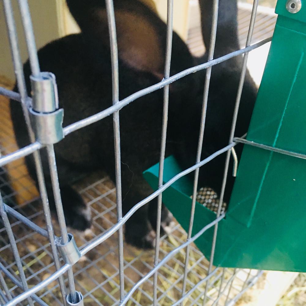 new zealand doe meat rabbit homestead livestock