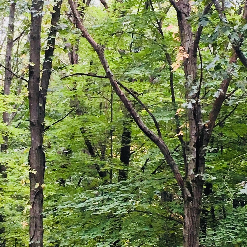 dead branch white oak tree wooded homstead lot