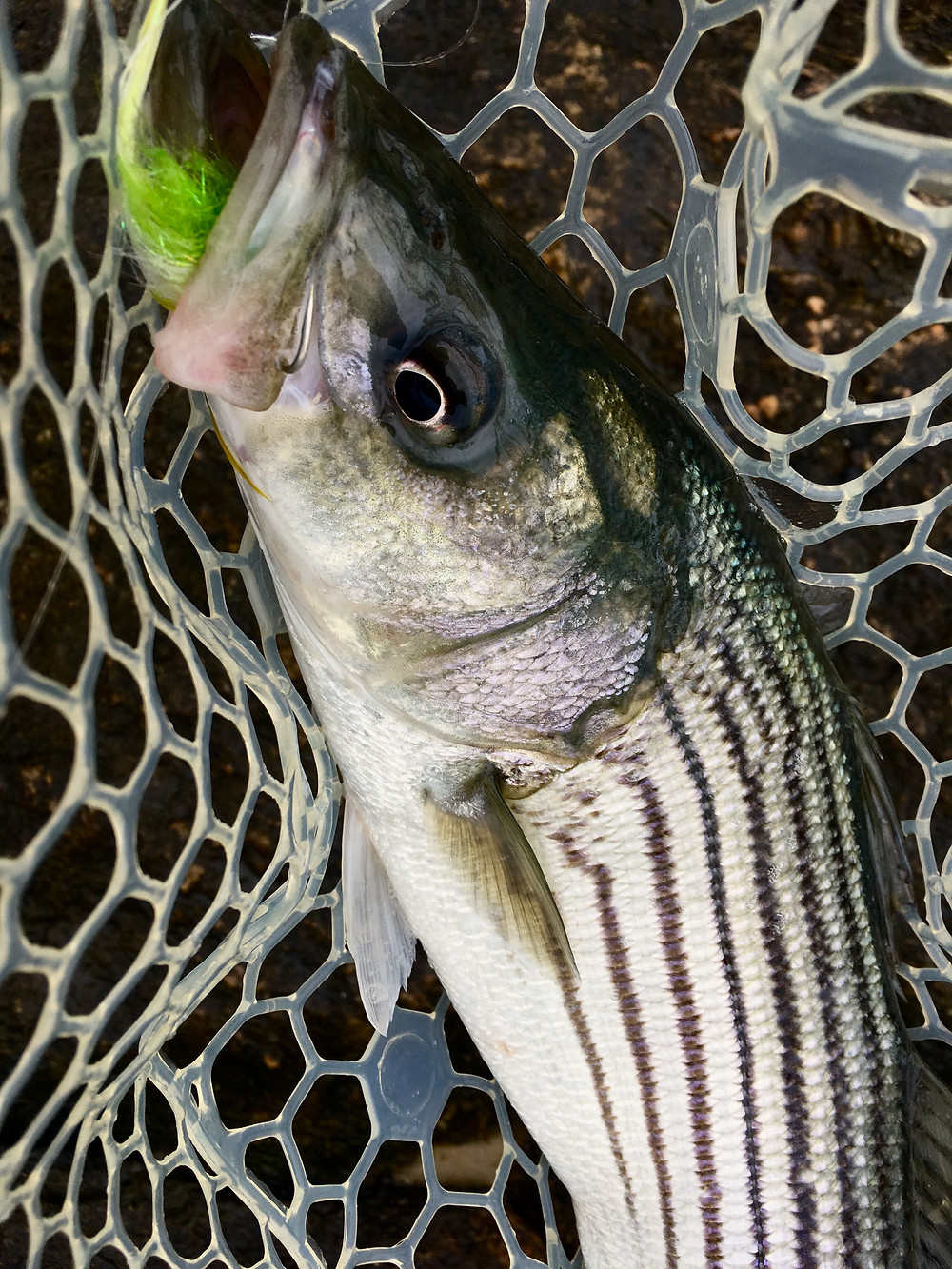 Fly Fishing for Cape Cod stripers