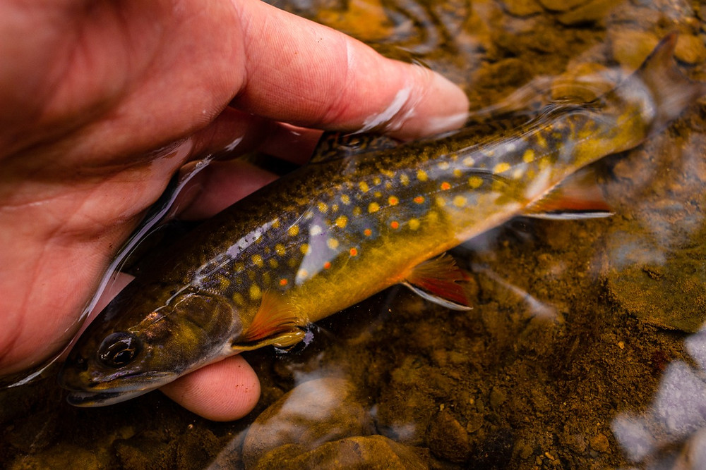 fly fishing in central new york for native brook trout