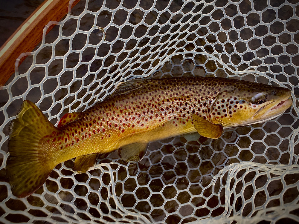 a brown trout caught by Central New York fly fishing guide, Brian Lansing, using winter nymphing techniques.