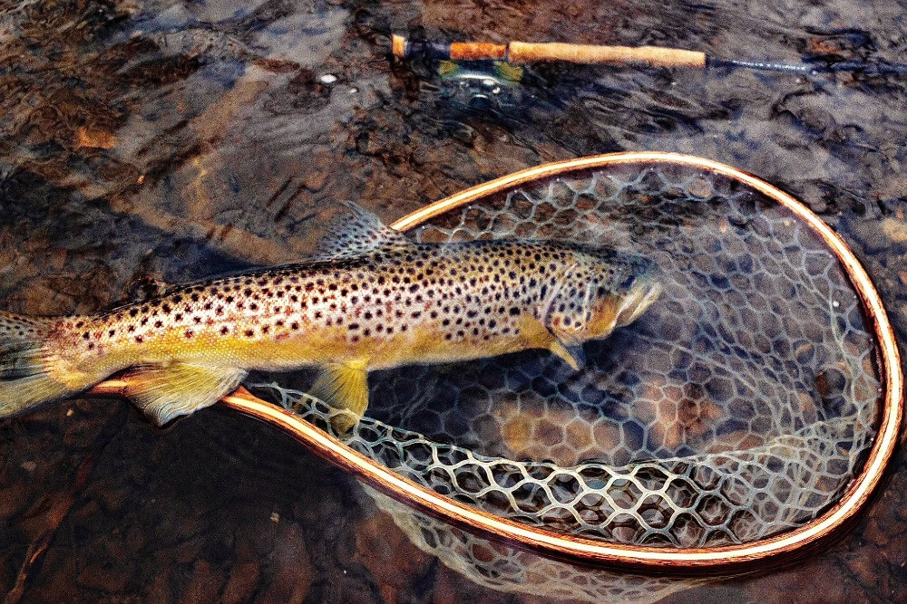 a healthy wild brown trout caught fly fishing in Central New York