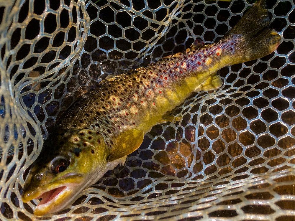 Wild Catskills brown trout