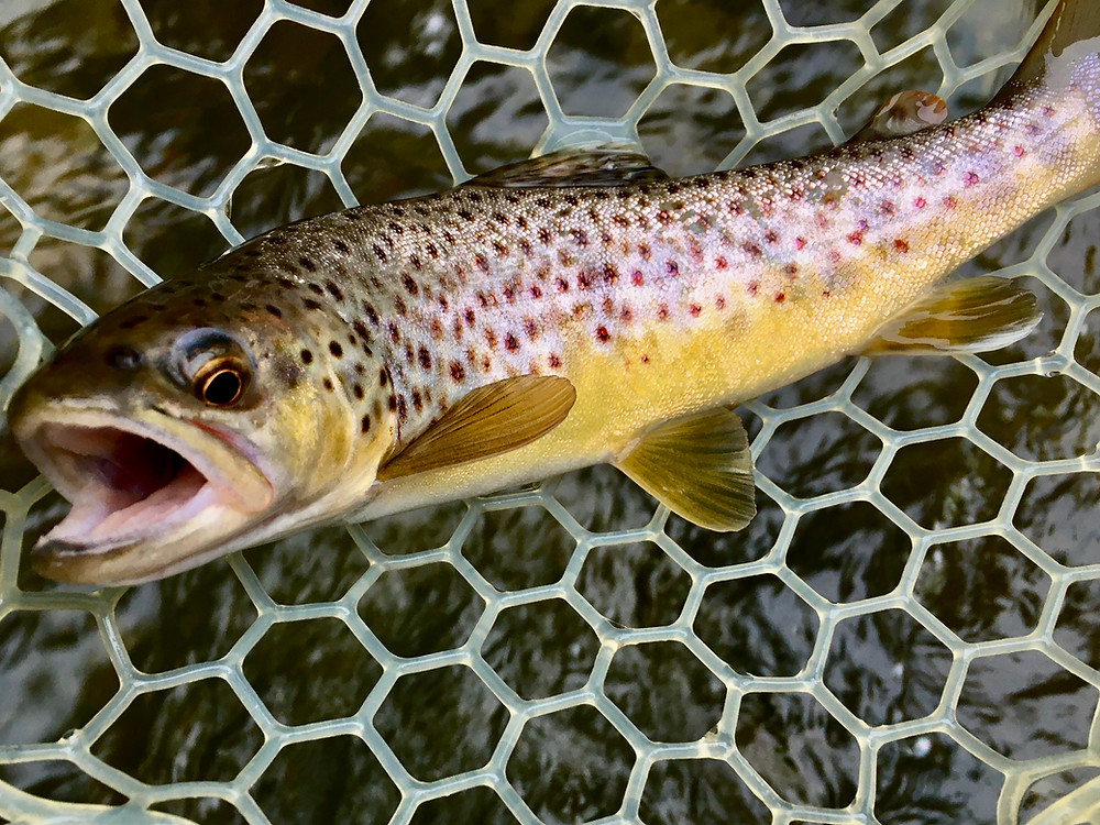 Fly fishing with streamers for Central New York brown trout.