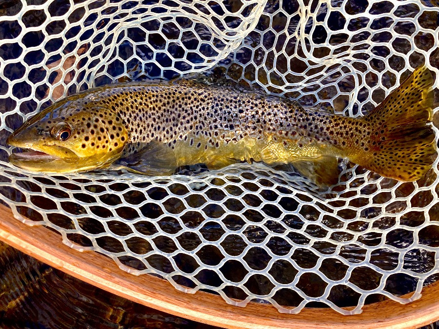 A big beaverkill brown trout caught fly fishing with caddis pupa