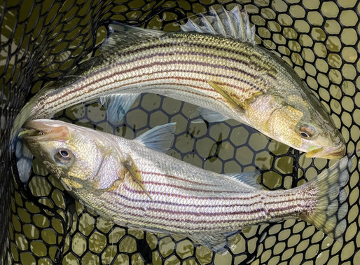 seven days of stripers