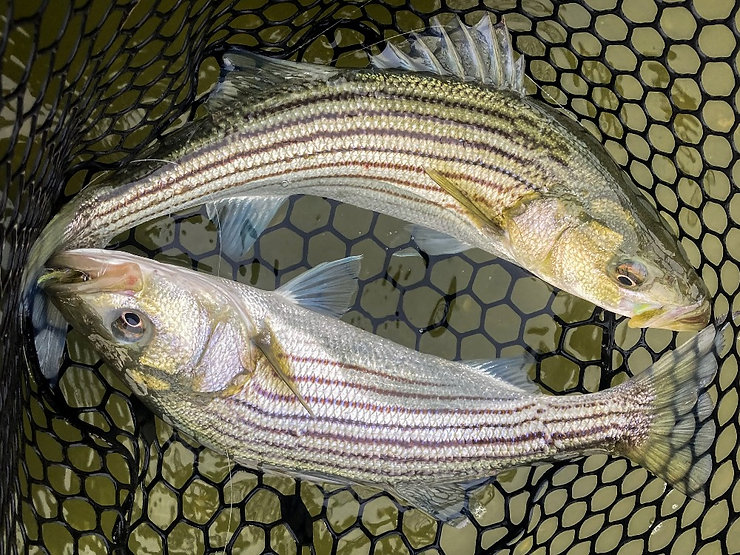 guided fly fishing for Cape Cod stripers