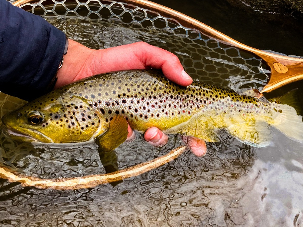 A brown trout caught and released fly fishing in Central New York