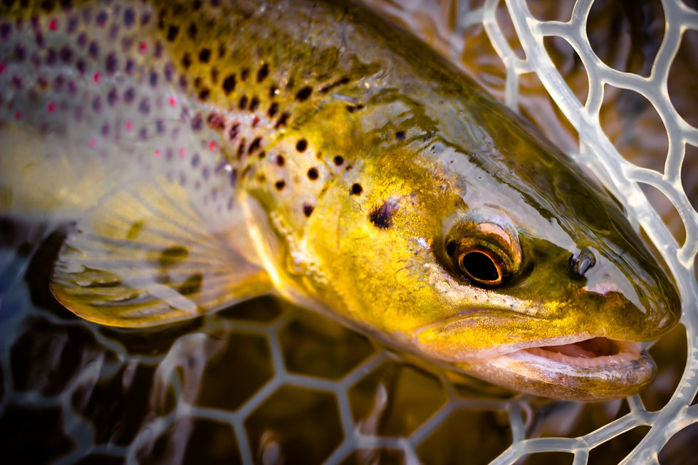 Upstate New York fly fishing for brown trout