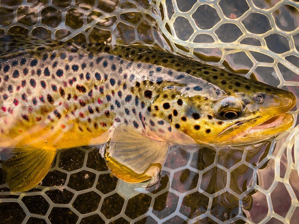 A colorful Central New York wild brown trout.  It's a great time to be on the water!
