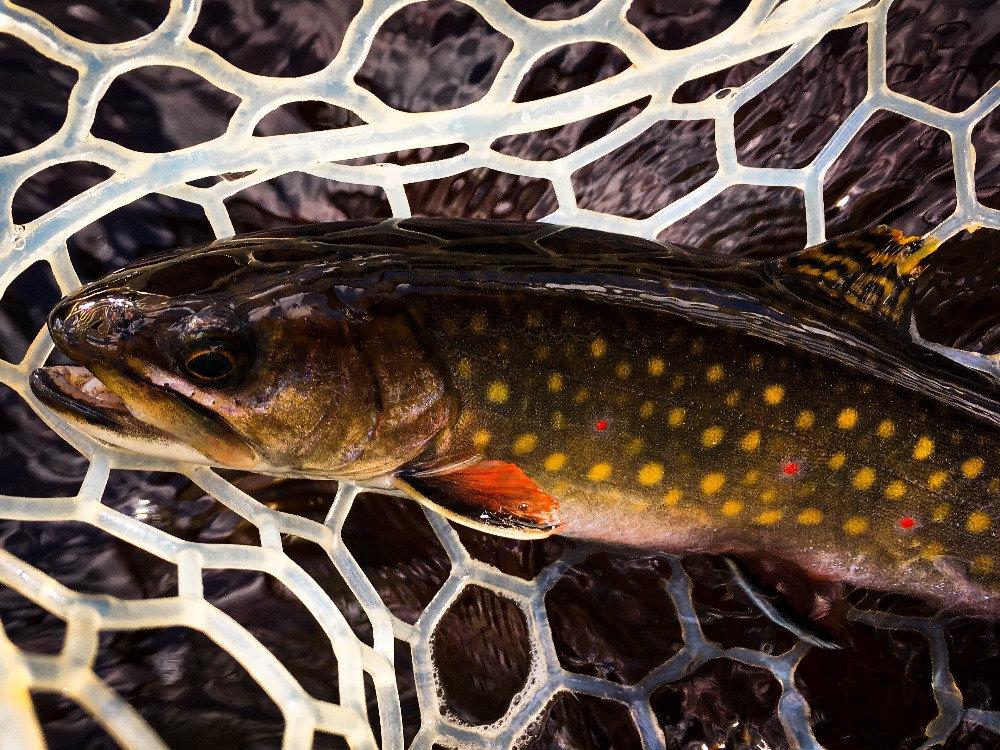Native Adirondack Brook Trout!
