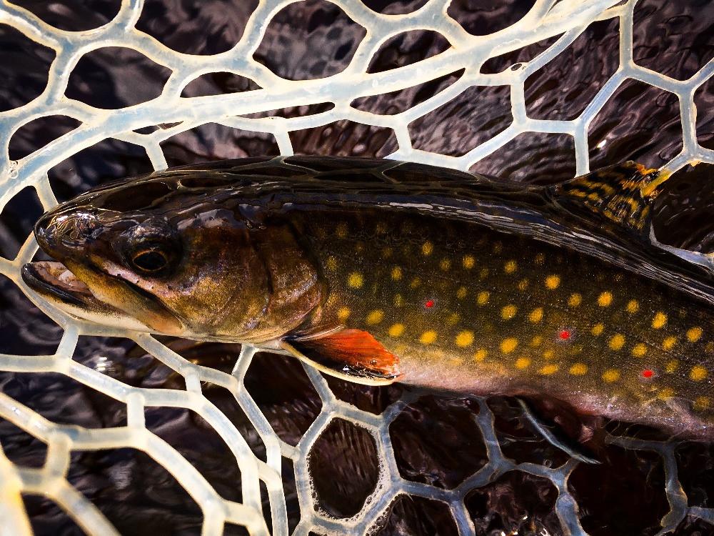 A native Adirondacks brook trout.