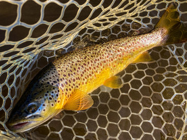 Central New York Wild Brown Trout
