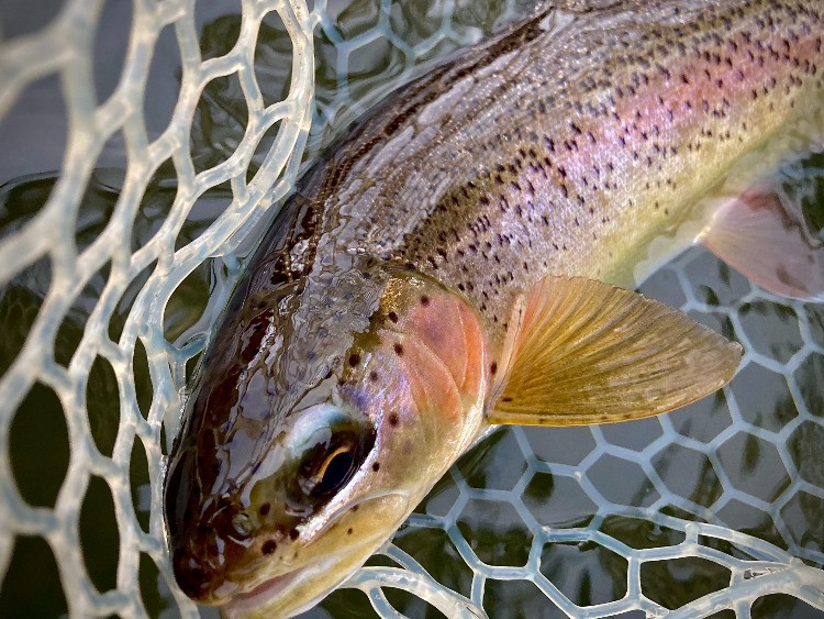 A colorful rainbow trout caught fly fishing on the West Branch of the Delaware River
