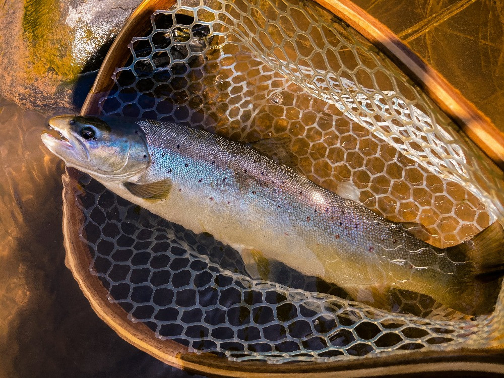 a big wild catkills brown trout
