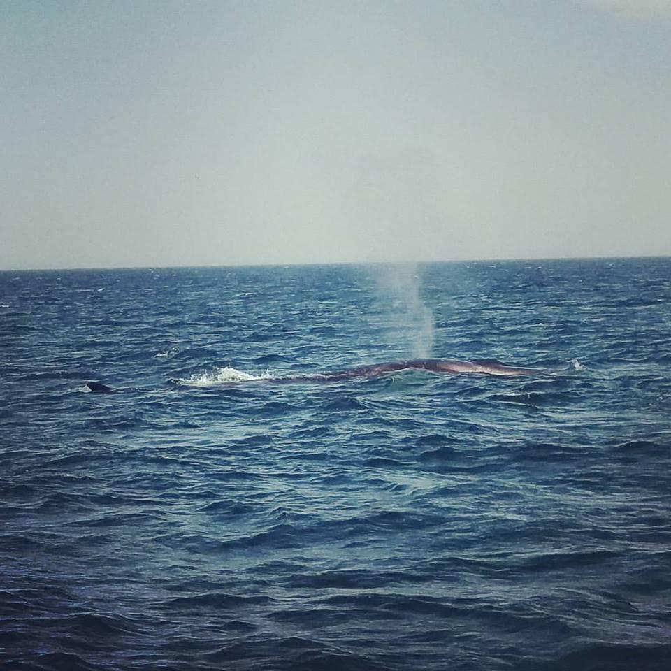 Blows! (a Fin Whale)
