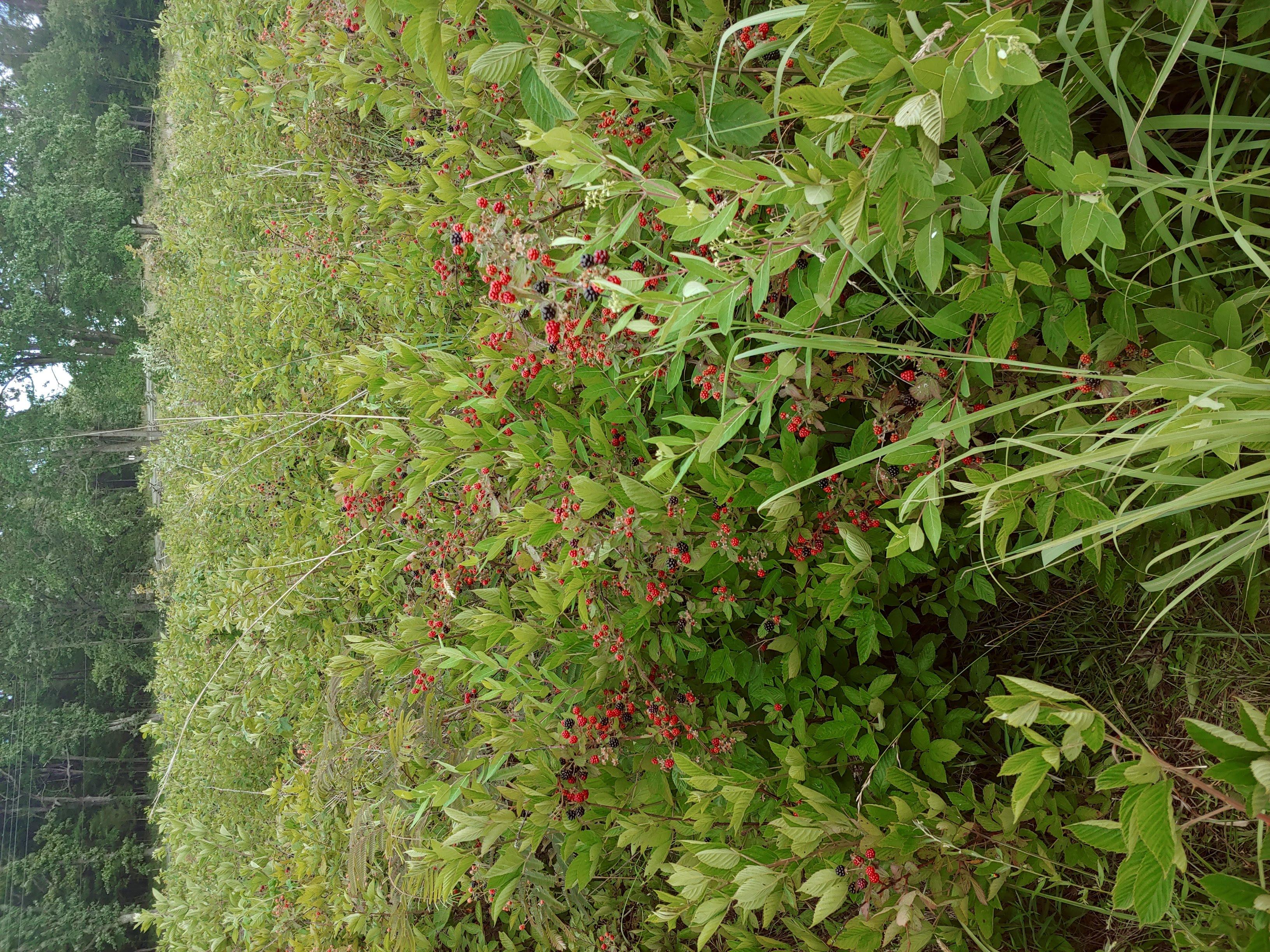 Raspberry battlefield in Virginia