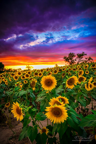 Colby Sunflowers