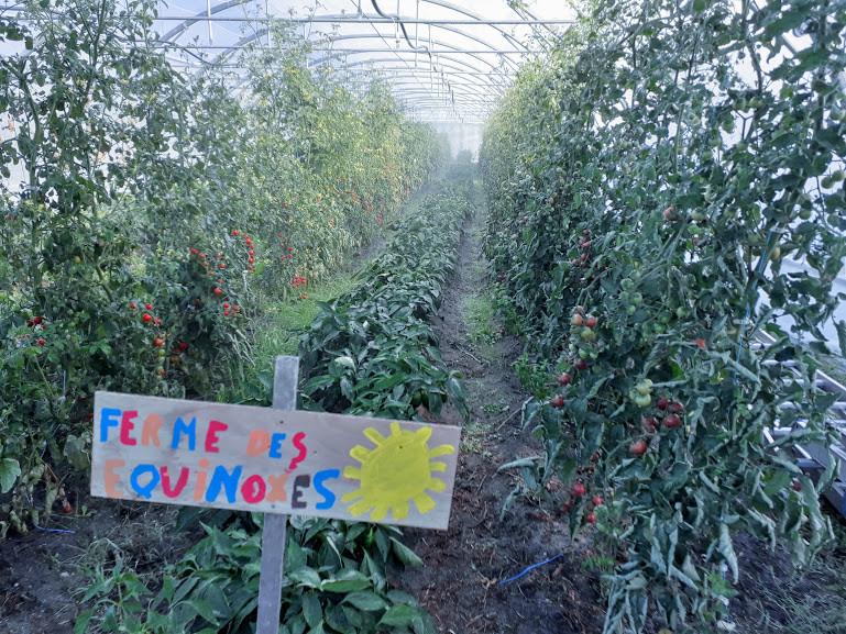 Forêt de tomates pour cette fin d'été.