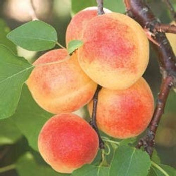 Sugar Pearl Apricot
