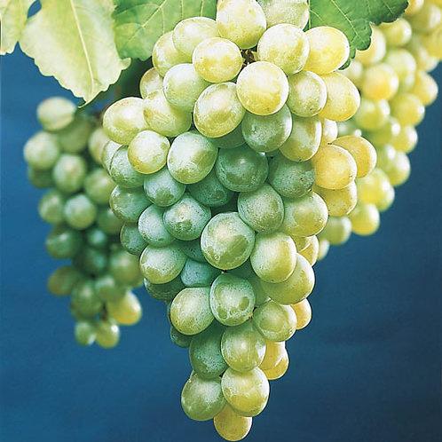 Himrod Grape (Seedless)