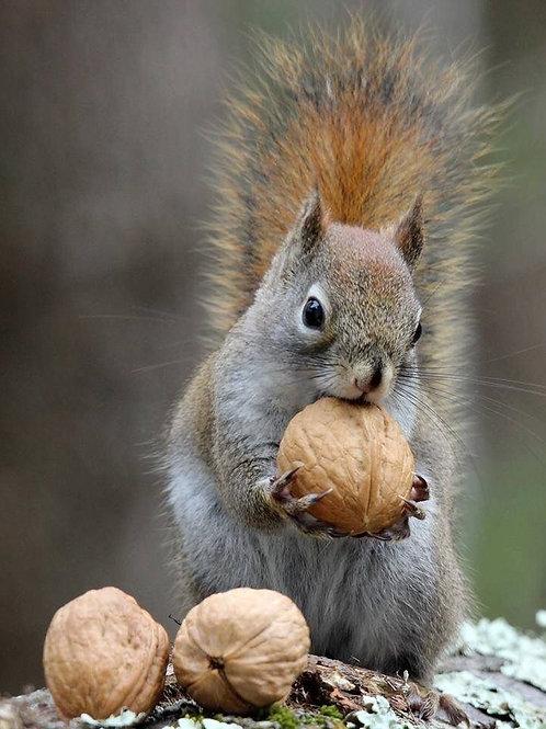 Nut Pack, Squirrel
