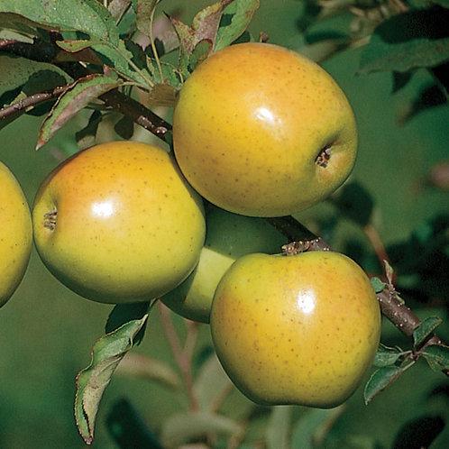 apple October crisp resistant