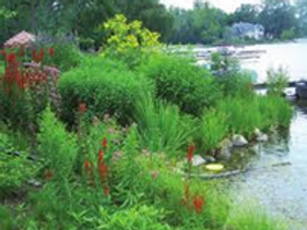 Creating a Natural Shoreline with Native Plants