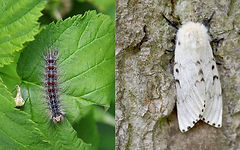 Gypsy moth caterpillar on the left. Gypsy moth on the right.