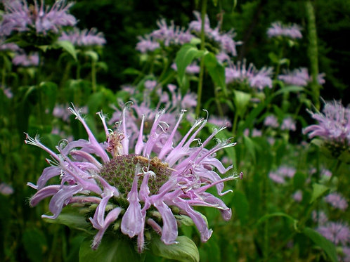 Native Wildflower & Honeybee