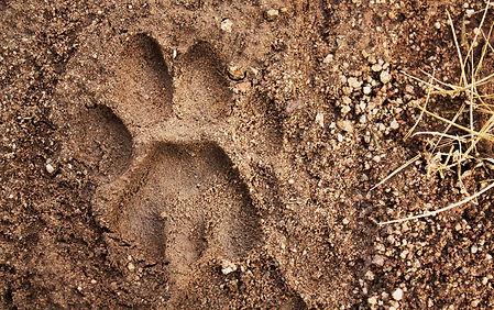 mountain-lion-track.jpg