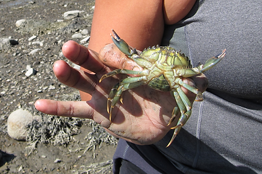 green crab closeup.png