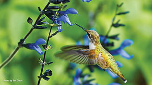 10-plants-attract-hummingbirds-pv.jpg