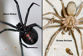 black_vs_brown_spiders_s1a.jpg