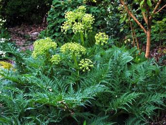 Molopospernum Pelopenosicum