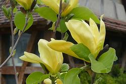 Magnolia Daphné