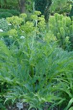 Molopospermum peloponesicum