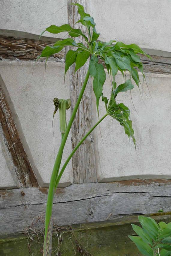 Arisaema ciliatum var. libanense