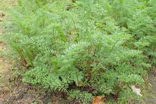 Ligusticum lucidum