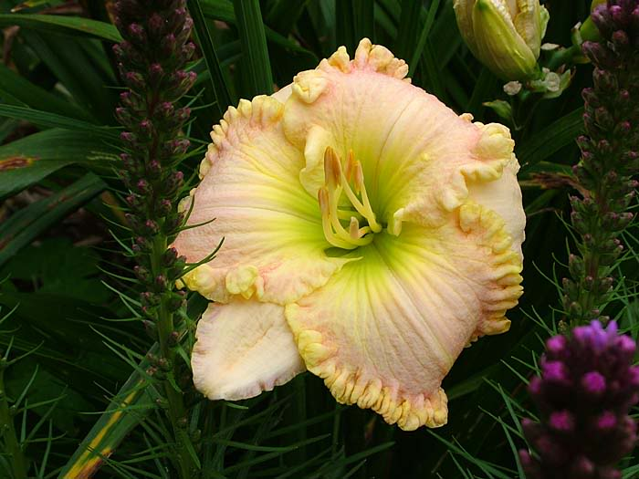 Daylily See His Glory