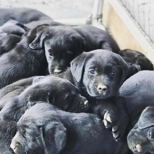 blackpuppypile.jpg