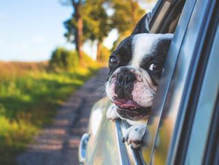 Cosa fare se il nostro cane soffre di mal d'auto?