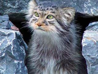 Gatti selvatici: ecco le specie più belle