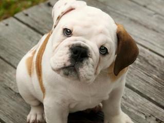 Quali sono i sintomi dell'epatite canina?