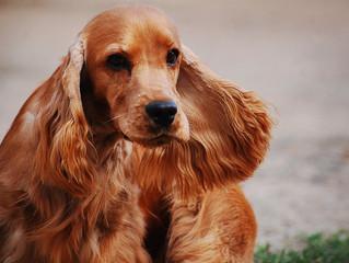 La tosse dei canili: Cosa è?
