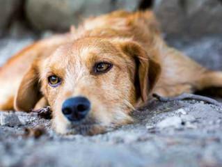 Arriva la tassa sui cani non sterilizzati