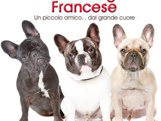 Bouledogue francese: Il cane con le orecchie a sventola e la ''R'' moscia!