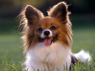 Come faccio a capire se il mio cane ha la parvovirosi?