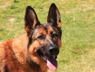Pulci e zecche sono pericolose per la salute dei cani?
