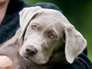 Che succede se il cane si lecca dopo essere trattato con l'antiparassitario?